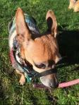 Chihuahua Dachshund mix small dog breed wearing black Halti head collar size 0 zero