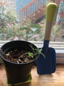 Tomato plant seedling in small pot next to kids' gardening trowel