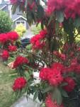 red rhododendron bush in flower outside window
