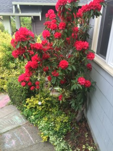Red rhododendron bush flowering beside house and sidewalk