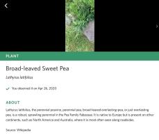 iNaturalist Seek App Sweet Pea species plant identification