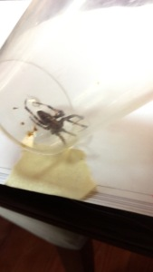 Spider caught inside bug vacuum clear container