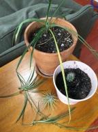 Houseplants for kids spider plant, cactus, air plant